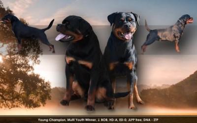 20/03/2019 – Siamo Lieti di Annunciare la Cucciolata Rottweiler