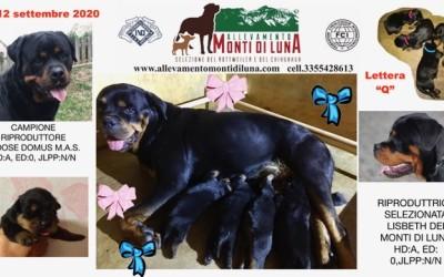 Il 12 Settembre 2020 sono nati cuccioli di Rottweiler adre Lisbeth dei Monti di Luna (riproduttore selezionato). Padre Ch. Goose Domus M.A.S. (campione riproduttore)