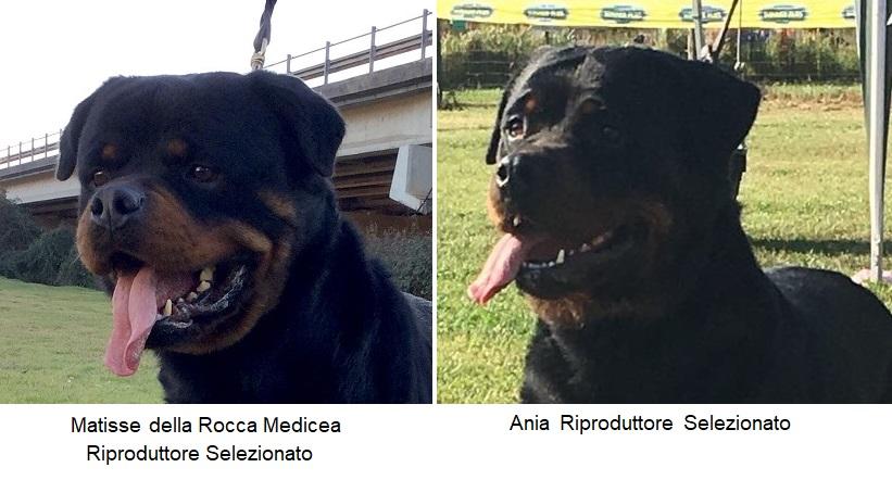 01/06/2019 – Siamo Lieti di Annunciare la Cucciolata Rottweiler