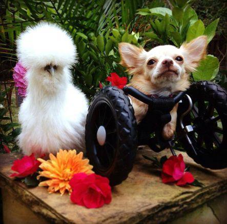 La tenera amicizia fra un chihuahua e il pollo