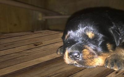 14/03/2020  Nati 7 splendidi cuccioli Rottweiler di Nives e Matisse